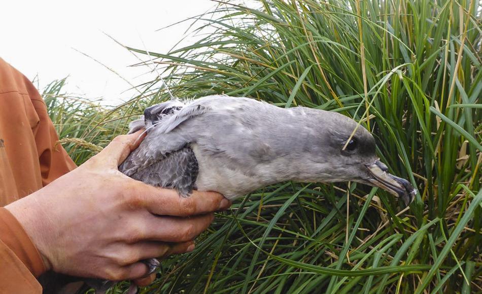 Kleine Satelliten-Sender wurden auf dem Rücken von 10 Grausturmvögeln befestigt, um ihre Flüge während der nächsten 100 Tagen verfolgen zu können. Die Ergebnisse zeigten, dass einige Vögel zur Futtersuche bis 3000 km weit flogen. (Foto: Marcus Salton)