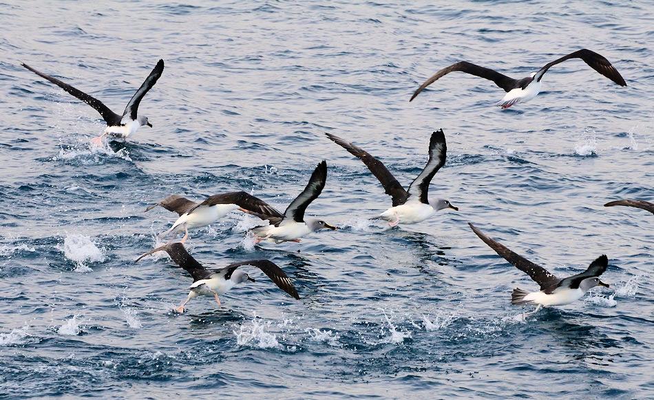 Alle Albatrosarten müssen ihre Nahrung auf hoher See suchen. Diese Gebiete sind am gleichen Ort wie die Fischereigebiete, wo Langleinenschlepper Schwarze Seehechte und andere teure Fischarten fangen. Trotz verschiedener Versuche enden tausende von Albatrossen an den Haken als Beifang. Bild: Michael Wenger