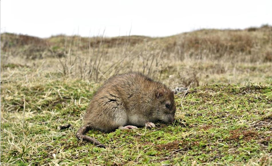 Die Ratten waren ein Überbleibsel der Wal- und Robbenfängerzeit, die einst für ihr blutiges Handwerk auf die Insel gekommen waren. Die Fänger gingen, die Ratten blieben und dezimierten auf dramatische Weise die einheimische Vogelwelt. Bild: Paula O'Sullivan