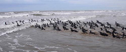 Pinguine-Brasilien3