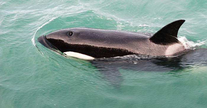 Schwimmender Orca