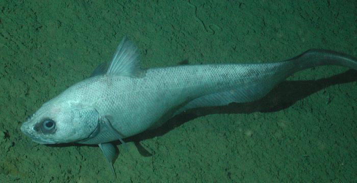 Der Coryphaenoides leptolepis kann eine Körperlänge von etwa 62,0 Zentimeter erreichen und er hält sich im östlichen Atlantischen Ozean in Tiefen zwischen 610 und 4.000 Metern auf.