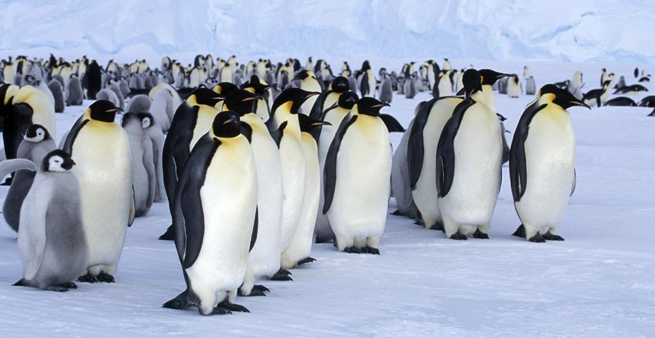Der Kaiserpinguin lebt und brütet ausschliesslich am Rand der Antarktis zwischen dem 66. und 78. Breitengrad. In ihrer «ozeanischen Phase» wandern Kaiserpinguine im Bereich des Packeisgürtels.
