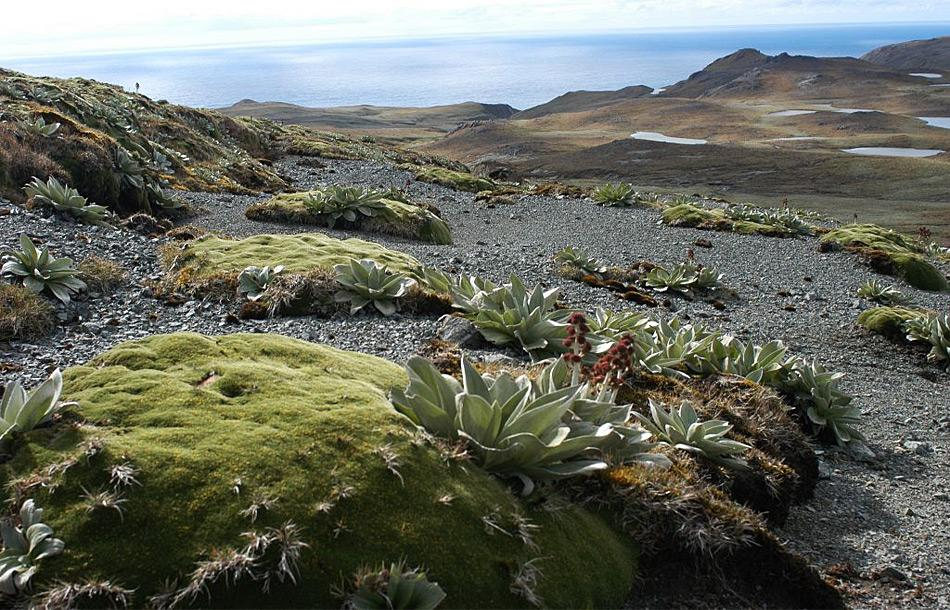 A healthy cushion plant (Azorella macquariensis) with other plants on the alpine plateau of Macquarie Island (Photo: Dana Bergstrom)