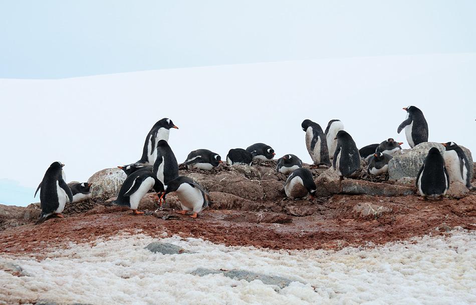 Durch die dunkle Oberfläche des Pinguinkots wird mehr Wärme aufgenommen und der darunterliegende Schnee schmilzt schneller. So sind begehrte Brutplätze auf Felsen schneller verfügbar. Bild: Michael Wenger