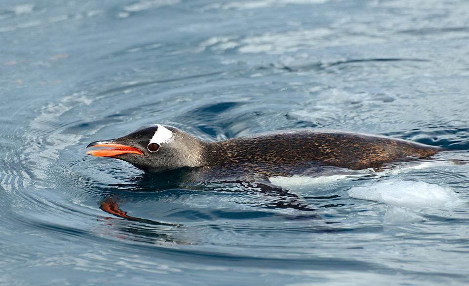Die wasserabstossende Fähigkeit von Pinguinfedern hilft den Tieren, trocken zu bleiben. Bis anhin wurde dies dem Öl der Bürzeldrüse zugeschrieben. Doch die Studie von Alizadehbirjandi et al. Hat ein detaillierteres Bild gezeigt. Bild: Michael Wenger