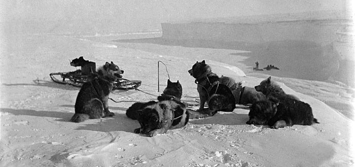 Amundsen - Schlittenhunde