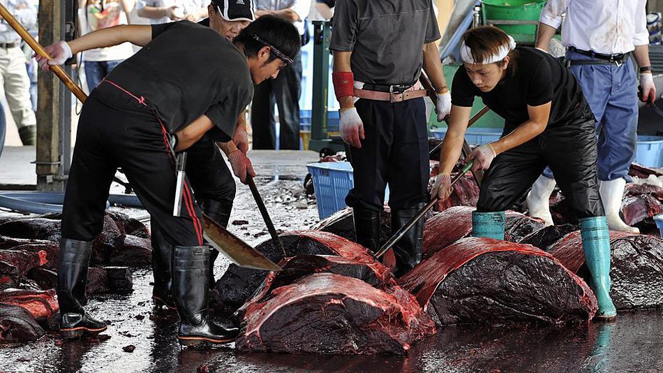 So endet die japanische Forschung – auf dem Markt. Da Japaner immer weniger Walfleisch essen, wird das Überangebot zu Hundefutter verarbeitet!