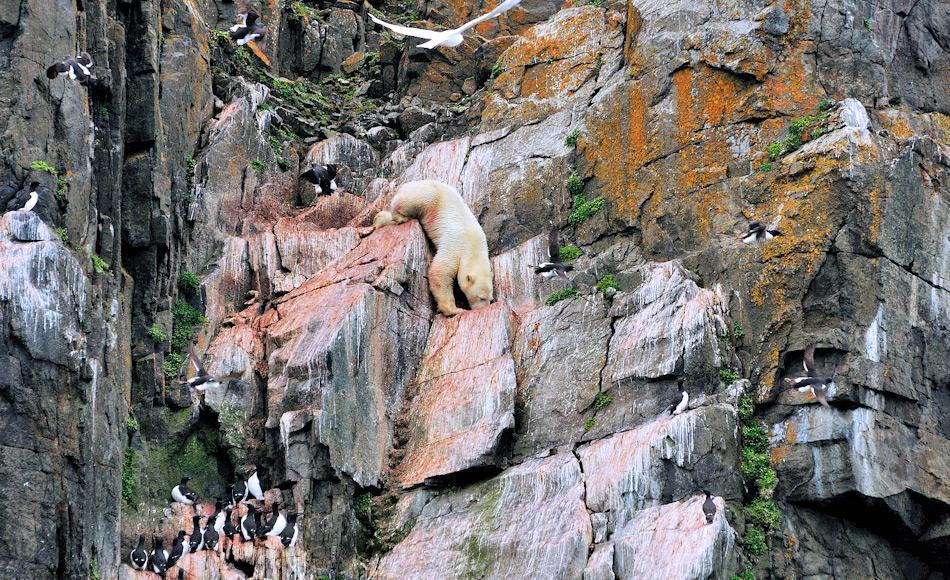 Küken werden normalerweise von Eisfüchsen oder Eismöwen gefressen. Doch hin und wieder wurden auch Eisbären gesehen, die auf den engen Simsen balancieren und sich die Jungen schnappen, ohne dass die Eltern etwas dagegen tun konnten. Bild: Michael Wenger