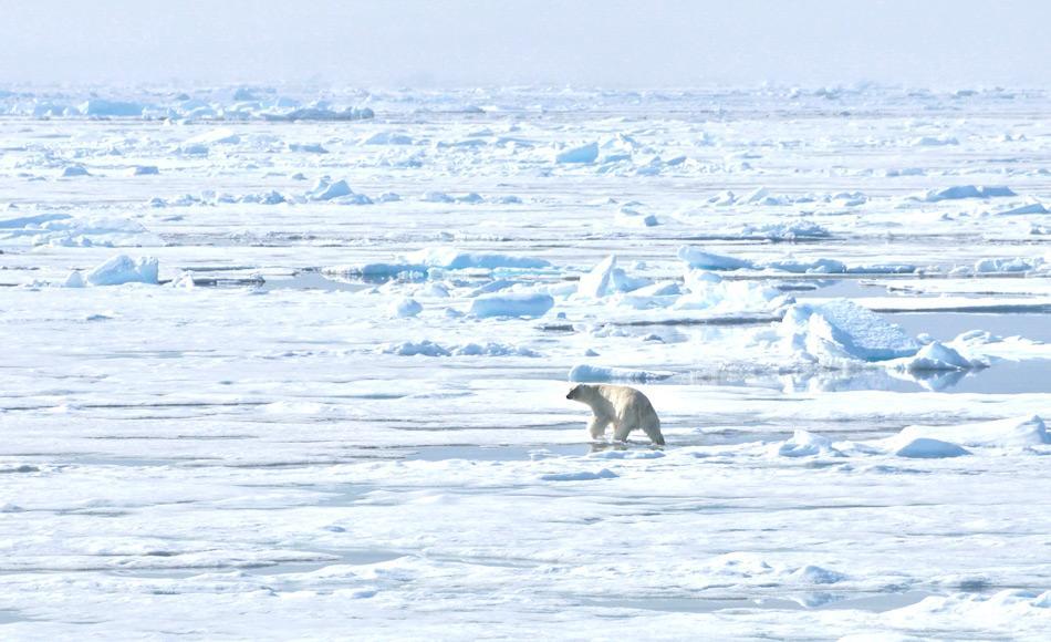 Viele arktische Tiere sind stark von der Eisbildung abhängig. Durch das schrumpfende Meereis und die Ausdünnung des vorhandenen Eises werden Eisbären, robben und Co. Ihren Lebensraum verlieren. Bild Michael Wenger