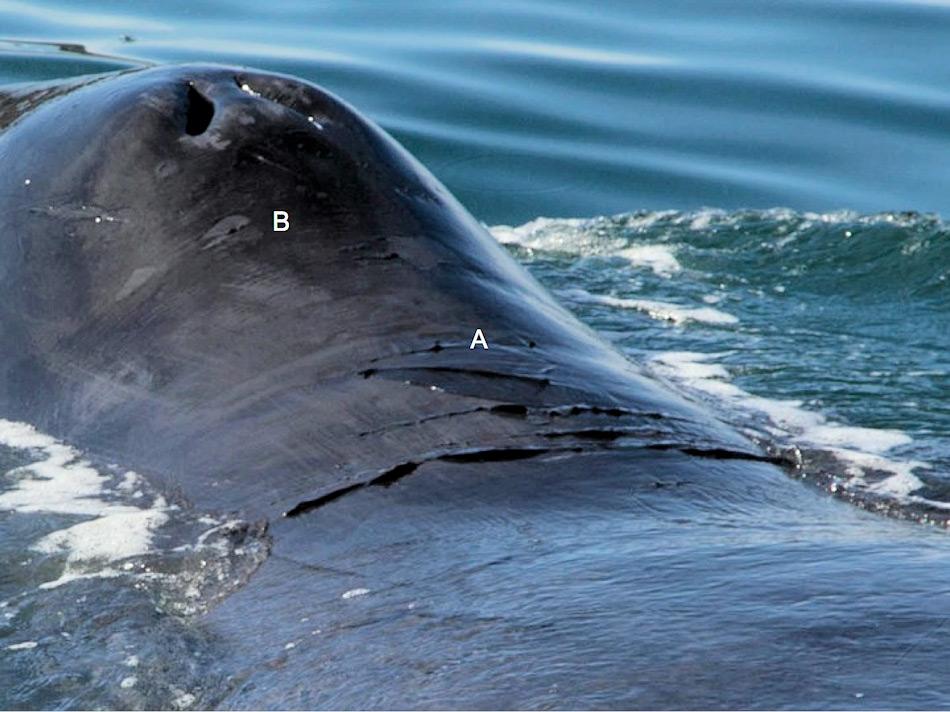 Die Unterschiede zwischen toter Haut (A) und Hautflecken (B) wird ersichtlich, wenn man Grönlandwalen sich nähert. Denn diese Teile werden an den Felsen gerieben, wie von den Forschern beobachtet.