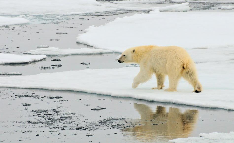 Während Pinguine die Ikonen der Antarktis sind, haben es Eisbären niemals soweit südlich geschafft. Sie sind die Könige der Arktis. Bild: Michael Wenger