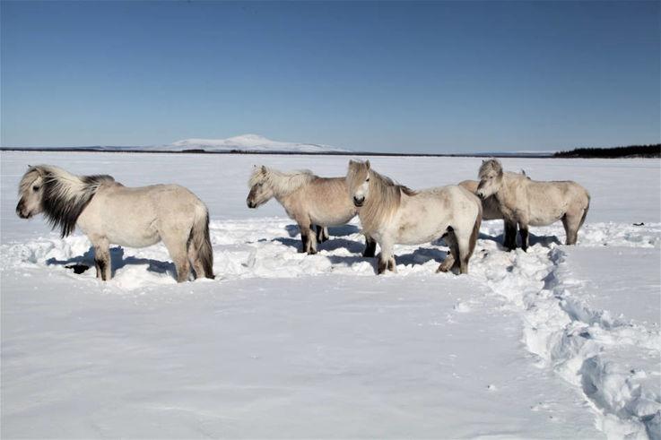 Grosse Pflanzenfresser wie Pferde und Rentiere könnten den Permafrost mit ihren stampfenden Hufen