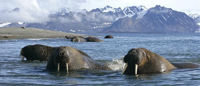 Atlantisches Walross