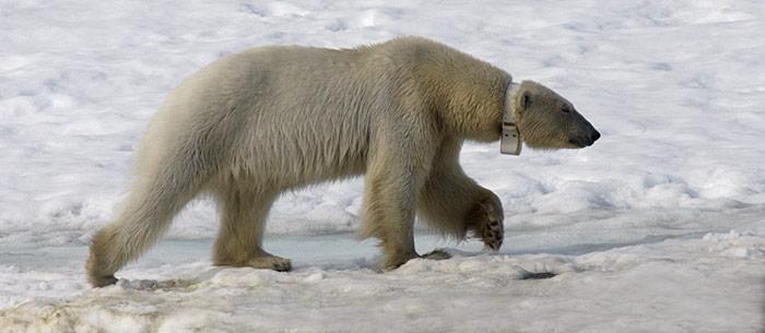 Eisbär mit Sender