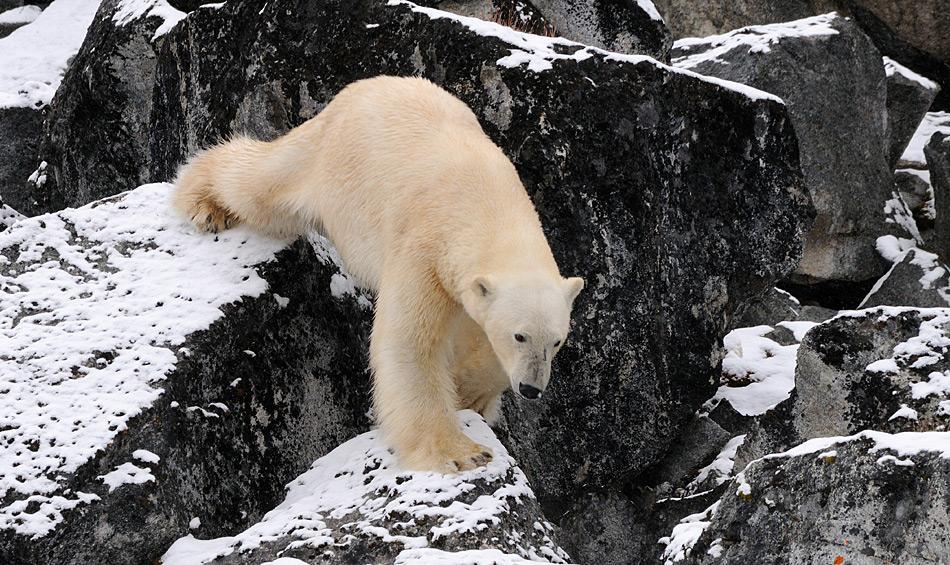 Ungefähr 3'000 Eisbären wandern auf dem Gebiet Svalbards und der nördlichen Barentssee. Obwohl sie potentiell über auf den Inseln sein können, wandern die meisten Bären der Küste entlang, um ihre Beute zu finden. Bild: Michael Wenger