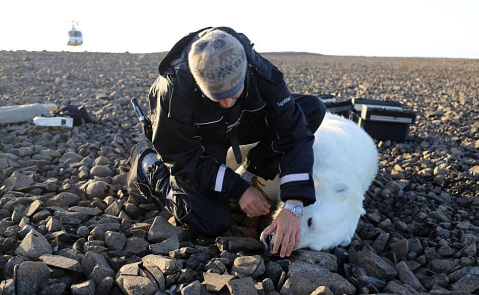 Das Versehen mit Satellitenbändern hilft Forschern die Wanderwege von Eisbären zu entdecken und ihre Migrationsbewegungen zu beobachten und sie zu zählen. Foto: Magnus Andersen, Norwegian Polar Institute
