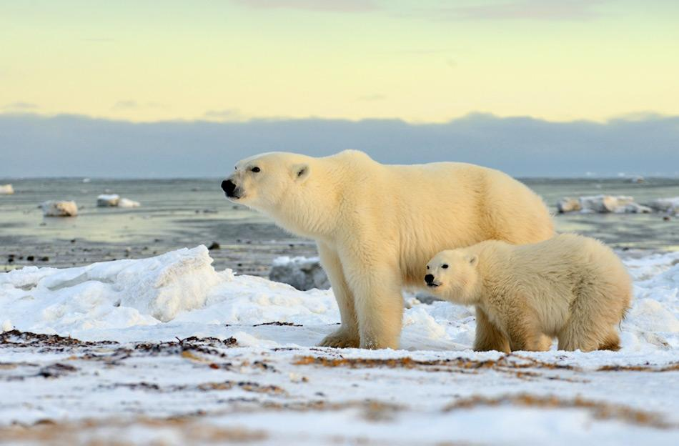 Eisbären wandern auf der Suche nach Nahrung der Küster der Hudson Bay entlang und warten bis diese zufriert. Durch den Klimawandel ist jedoch dieser Termin immer später in der Saison. Bild: Michael Wenger