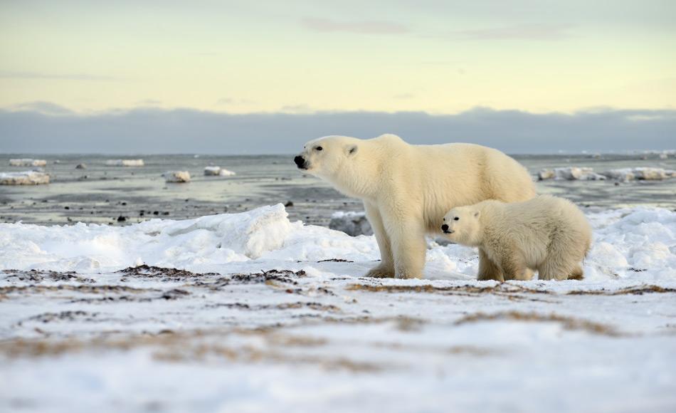 In Kanada und Alaska müssen weibliche Bären an Land, um zu gebären. Denn durch das verschwundene mehrjährige Eis existieren auch keine Höhlen mehr, wie auch hier in Arviat. Dies bringt sie in den Einflussbereich von männlichen Grizzlies. Bild: Michael Wenger