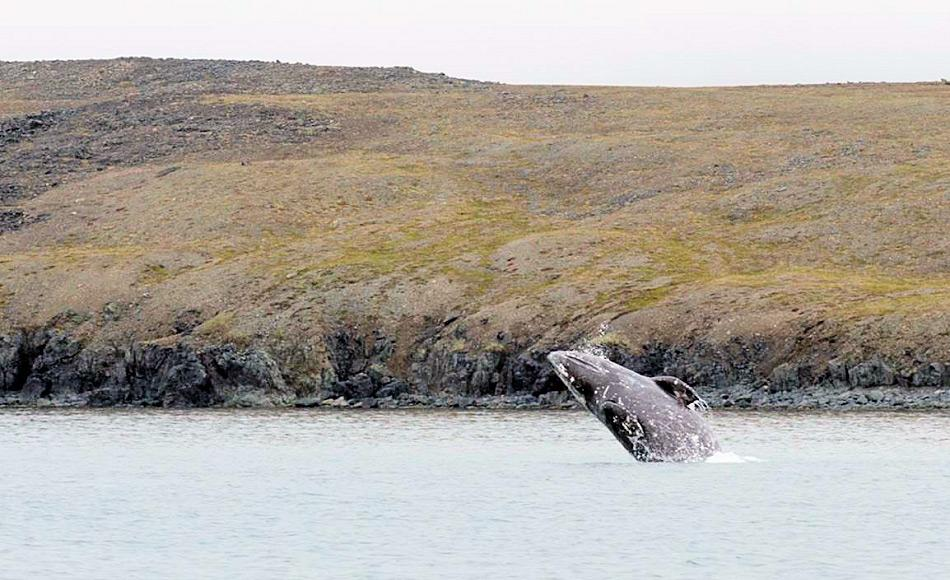 Grauwale untenehmen eine der längsten Wanderungen aller Säugetiere und wandern von der Baja California bis in die Beringstrasse und zurück. Die Wale sind auch eine wichtige Nahrungsquelle für die lokalen Inuit- und Tschuktschenorte entlang der russischen Küste. Bild: Samuel Blanc