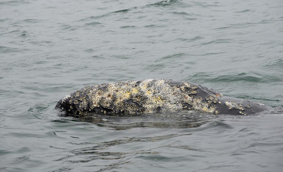 Grauwale sind Bartenwale und ernähren sich von Organismen in weichen Schlickboden des Schelfs. Ihr charakteristisches Muster von Narben  durch Parasiten auf der Haut macht es einfach, sie zu identifizieren. Bild: Samuel Blanc