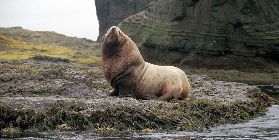 Der Stellersche Seelöwe (Eumetopias jubatus) ist der grösste Vertreter der Ohrenrobben. Seine Kolonien findet man an den Küsten des nördlichen Pazifiks.