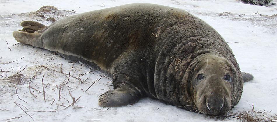 Der Parasit S. pinnipedi ist ein neu entdeckter Erregerstamm, der jetzt in den noch ungeschützten Robbenpopulationen im Süden wütet, u.a. bei Kegelrobben. Bild: Charles Caraguel