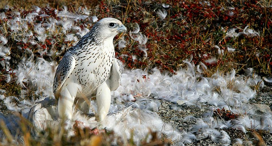 Der Gerfalke ist die weltweit grösste Falkenart. Er ist zirkumpolar in den arktischen Regionen Eurasiens und Nordamerikas sowie Grönlands vertreten und besiedelt dort die Tundra.