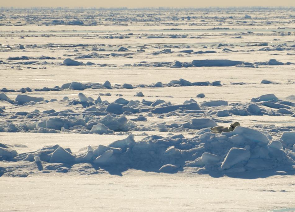 Eine niedrigere Meereisfläche bedeutet auch einen kleineren Lebensraum für Eisbären und Robben, die auf dem Eis leben. Weibliche Eisbären haben grössere Schwierigkeiten, die Eiskante mit den Jungen zu erreichen und Robben haben kleinere Gebiete, um sich fortzupflanzen und eine höhere Wahrscheinlichkeit, auf Eisbären zu stossen. Doch eine kleine Wintereisausdehnung bedeutet nicht automatisch auch einen negativen Rekord im Sommer. Bild: Michael Wenger