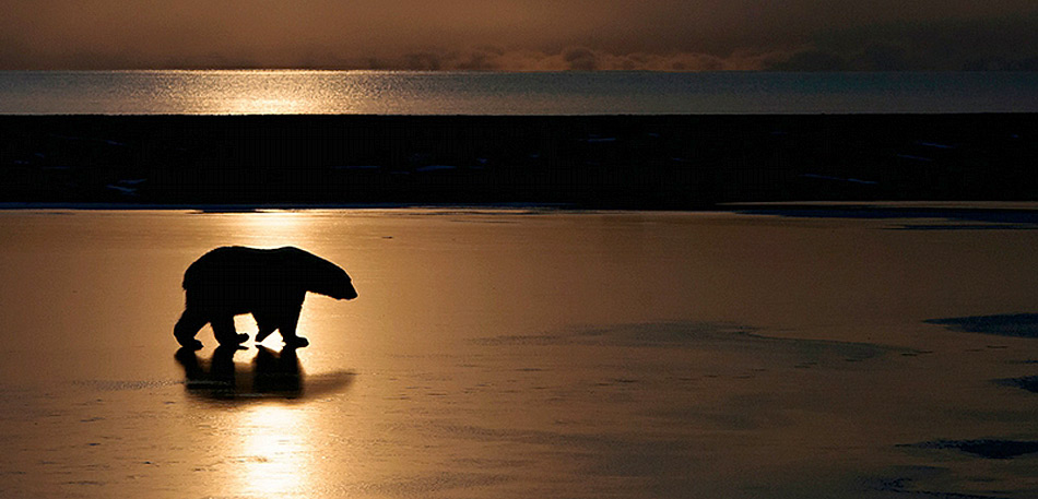 Wrangel Island ist auch bekannt als «Kinderstube der Eisbären». Nirgends kommen mehr Jungtiere zur Welt als auf der verlassenen Insel im arktischen Ozean.