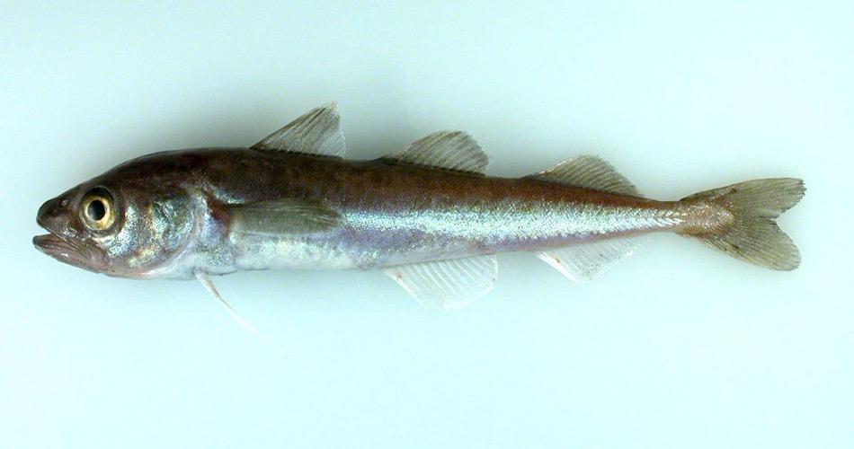 Polar Dorsche sind leicht durch die 3 Rückenflossen zu erkennen. Diese Art ist  zirkumpolar verbreitet, d. h., sie bewohnt den Nordatlantik ebenso wie den Nordpazifik. Der Polardorsch lebt, wächst und vermehrt sich in Salzwasser mit einer Temperatur von 0 °C oder darunter.