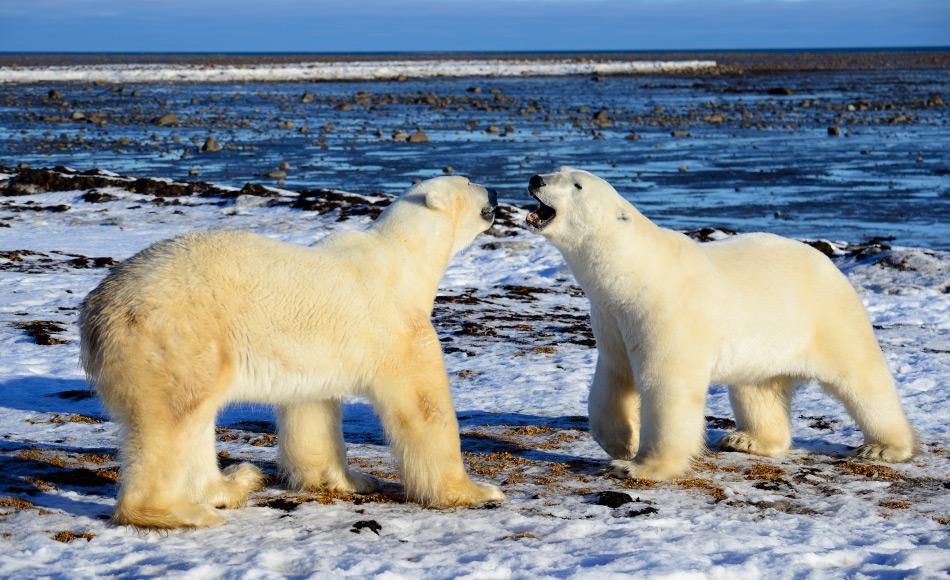 Die Zukunft für Eisbären und andere Bewohner der Arktis sieht düster aus gemäss den Resultaten der fünfjährigen Studie, die dem Arktisrat vorgelegt wurde. Bild: Michael Wenger